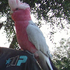 Galah [Rose-breasted Cockatoo]