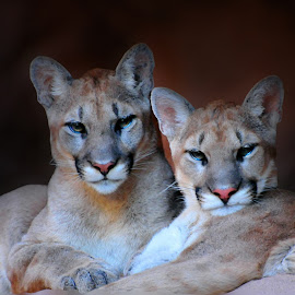 Mountain Lions by Joe Thomas - Animals Lions, Tigers & Big Cats ( cats, cat, cougar, puma, mountain lion )