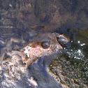 Sand bass (skull)