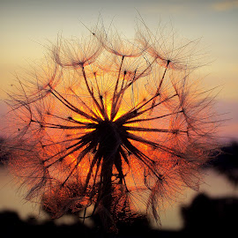 Sunset by Svetlana Micic - Nature Up Close Other plants ( dandelion, nature, colors, sunset, sun )