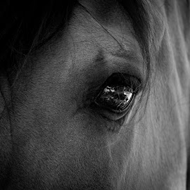 Eye of Spirit by Jamie Cournoyer - Animals Horses ( mustang, california, sanctuary, kiger )