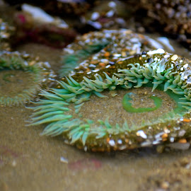 aqua green by Susan Consiglio Shurtleff - Animals Sea Creatures