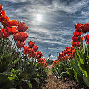 Tesselaar Tulip Festival by Zubair Aslam - Flowers Flower Gardens ( contrast, melbourne, timings, tulip, composition, tulips, timing, flowers, tesselaar, garden, flower,  )