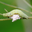 Parasitic wasp cocoons guarded by host caterpillar