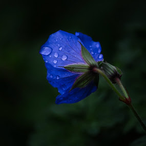 Rainy day by Hannah Rugg - Nature Up Close Flowers