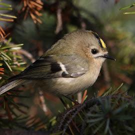 Goldcrest by Paul Dogman - Animals Birds