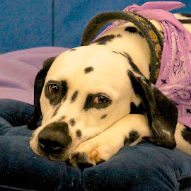 Soon by Barbara Brock - Animals - Dogs Portraits ( dalmatian, sadness, pet, dog lying down, dog, dog show,  )