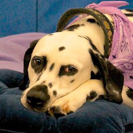 Soon by Barbara Brock - Animals - Dogs Portraits ( dalmatian, sadness, pet, dog lying down, dog, dog show )