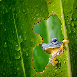From my window by Dikky Oesin - Animals Amphibians ( nature, frog, green, green leaf, amphibian, leaf, morning )