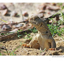 spiny tail lizard