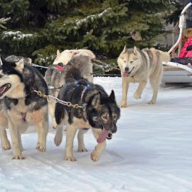 Dog Sledge by Jaliya Rasaputra - Animals - Dogs Running ( dogs, sledge,  )