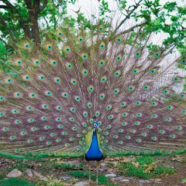Hue's of life by Syed Waseem - Animals Birds ( plumage, dance, peacock,  )