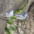 Varied Triller (females)
