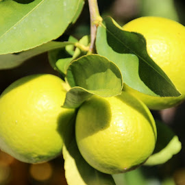 Anyone for Lemon Lime Bitters  by Colette Edwards - Nature Up Close Gardens & Produce (  )