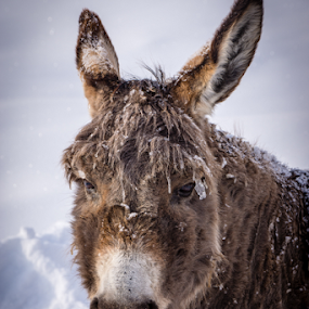Spring? by Roni Franklin - Animals Horses ( mule, winter, donkey, horse, grey,  )