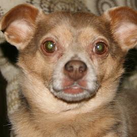 gizmo  by Debbie Theobald - Animals - Dogs Portraits ( animals, dogs, service animal, unedited, portraits,  )