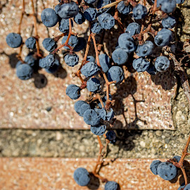Vine by Michael Gutzmer - Nature Up Close Gardens & Produce ( hanging, illinois, winter, brick, union, blueberries,  )