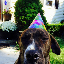 Let the birthday celebration begin...came home to Bentley waiting for the party to begin by Beth Columbo - Animals - Dogs Portraits