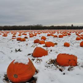 Snowy Pumpkins by Liz Childs - Nature Up Close Gardens & Produce ( field, winter, pumpkins, snow, harvest,  )