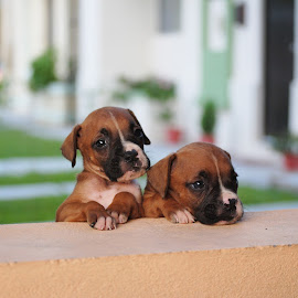 Little Brothers by Sergio Yorick - Animals - Dogs Puppies (  )