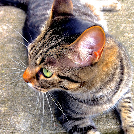 by Debbie Piccone - Animals - Cats Portraits ( cat, green eyes, tabby, sunbathing )