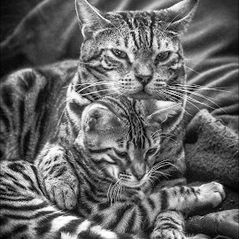 Love is Comfort by Rob Ebersole - Animals - Cats Portraits ( kitten, cat, maplewood bengals, bengal, leopard )