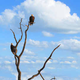 Jenkins Creek  by Galonii Original - Novices Only Wildlife ( eagle, eagles,  )