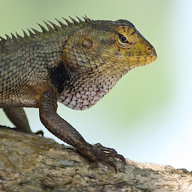Garden lizard. by Parash Sarmah - Animals Other