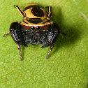 Wasp mimic jumping spider