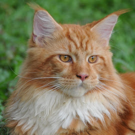 by Chelz Maine Coon Cattery - Animals - Cats Portraits ( cattery, cat, maine coon, breeder, kucing )