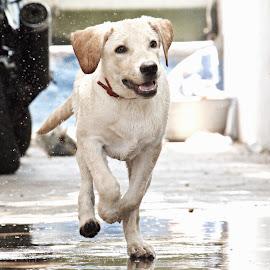 #Labrador by Venkat Aravind - Animals - Dogs Running ( #lab #lambo #cute #running #fast )