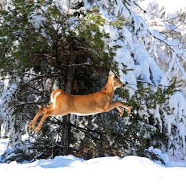 The Jumper by Lloyd Alexander - Animals Other Mammals ( lloyd alexander, jumping, beautiful, whitetailed, mammal, jump, deer )