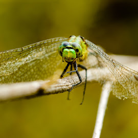 Green Eyed Dragonfly by Carol Plummer - Novices Only Macro ( nature, green, skimmer, insect, dragonfly )