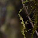 Moss-mimic Walking Stick (juvenile)