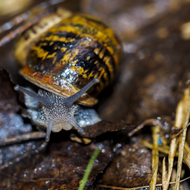 Snail by Chris Froome - Animals Other ( garden pest, nature, gastropode, wildlife, snail )