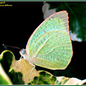 Mottled Emigrant Butterfly (Male)