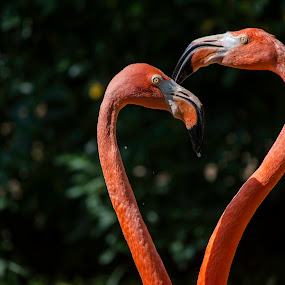 Pink heart by Luís Perdigão - Animals Birds ( love, bird, heart, flamingo, pink )