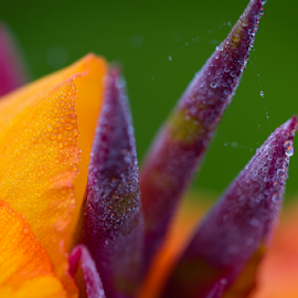 Dew on the Lily by Tom Whitney - Nature Up Close Gardens & Produce ( macro )