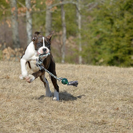 Bounce away by Tara Chumsae - Animals - Dogs Running ( ball, animals, dogs, boxer, beautiful, intense, boxers, cute, bounce, portrait, playing, puppies, toy, pet, happy, brindle, pets, puppy, focus, dog, dog toy, animal )