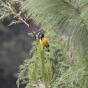 Black‐headed Siskin