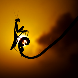 waiting sunset by Djeff Act - Animals Insects & Spiders ( macro, silhouette, mantis, animal,  )