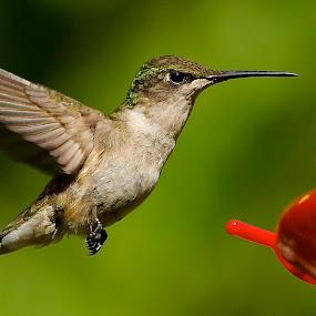 Sweet Pea by Roy Walter - Animals Birds ( flight, animals, hummingbird, wings, feathers, birds )