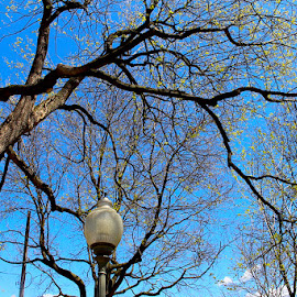 A Light in the Forest by Ronnie Caplan - City,  Street & Park  City Parks ( clouds, sky, park, blue, silhouette, white, lamppost, trees, leaves, branches )