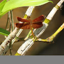 Neurothemis Dragonfly