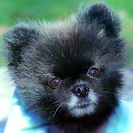 Munchie by Sue Delia - Animals - Dogs Portraits ( alopecia, dog, pomeranian,  )