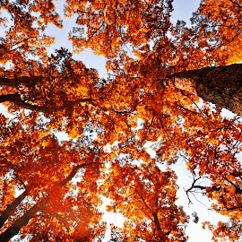 Fall Colores by Jonathan Abrams - Nature Up Close Trees & Bushes ( abstract, sky, color, fall, trees, leaves )