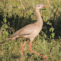 Red-Legged Seriema/Siriema