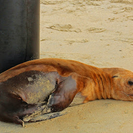 Resting Sea Lion by Jeannine Jones - Animals Sea Creatures