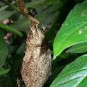 Saturniidae Cocoon