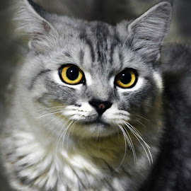 Pandangan Bibo,,, by Encik Muchlis - Animals - Cats Portraits